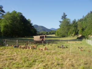 Happy pastured chickens
