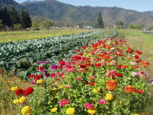 View of zinnias and fall cabbage.