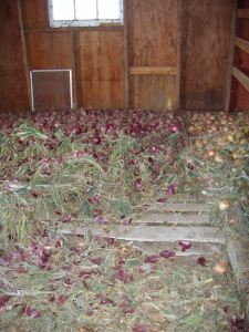 Red & yellow storage onions curing in the barn.