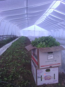 Arugula for the CSA. This is the now ruined hoophouse yesterday before the storm.