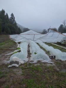 Ruined hoophouse by the wind.
